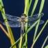 Keturtaškė skėtė - Libellula quadrimaculata   Fotografijos autorius : Kazimieras Martinaitis   © Macrogamta.lt   Šis tinklapis priklauso bendruomenei kuri domisi makro fotografija ir fotografuoja gyvąjį makro pasaulį.