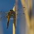 Keturtaškė skėtė - Libellula quadrimaculata | Fotografijos autorius : Eugenijus Kavaliauskas | © Macrogamta.lt | Šis tinklapis priklauso bendruomenei kuri domisi makro fotografija ir fotografuoja gyvąjį makro pasaulį.