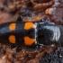 Keturtaškis žvilgvabalis - Glischrochilus quadripunctatus | Fotografijos autorius : Žilvinas Pūtys | © Macrogamta.lt | Šis tinklapis priklauso bendruomenei kuri domisi makro fotografija ir fotografuoja gyvąjį makro pasaulį.