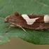 Kietinė epiblema - Epiblema foenella | Fotografijos autorius : Gintautas Steiblys | © Macrogamta.lt | Šis tinklapis priklauso bendruomenei kuri domisi makro fotografija ir fotografuoja gyvąjį makro pasaulį.