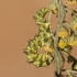 Kietinė kukulija - Cucullia artemisiae | Fotografijos autorius : Zita Gasiūnaitė | © Macrogamta.lt | Šis tinklapis priklauso bendruomenei kuri domisi makro fotografija ir fotografuoja gyvąjį makro pasaulį.