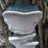 Kietoji kempinė - Phellinus igniarius | Fotografijos autorius : Aleksandras Stabrauskas | © Macrogamta.lt | Šis tinklapis priklauso bendruomenei kuri domisi makro fotografija ir fotografuoja gyvąjį makro pasaulį.