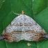 Kirptasparnis naktinukas - Laspeyria flexula  | Fotografijos autorius : Gintautas Steiblys | © Macrogamta.lt | Šis tinklapis priklauso bendruomenei kuri domisi makro fotografija ir fotografuoja gyvąjį makro pasaulį.