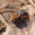 Klarko smėliabitė - Andrena clarkella | Fotografijos autorius : Ramunė Činčikienė | © Macrogamta.lt | Šis tinklapis priklauso bendruomenei kuri domisi makro fotografija ir fotografuoja gyvąjį makro pasaulį.