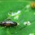 Podūra - Entomobryidae sp. ? | Fotografijos autorius : Vidas Brazauskas | © Macrogamta.lt | Šis tinklapis priklauso bendruomenei kuri domisi makro fotografija ir fotografuoja gyvąjį makro pasaulį.