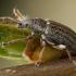 Kriaušinis lapinukas - Phyllobius pyri | Fotografijos autorius : Žilvinas Pūtys | © Macrogamta.lt | Šis tinklapis priklauso bendruomenei kuri domisi makro fotografija ir fotografuoja gyvąjį makro pasaulį.