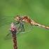 Kruvinoji skėtė - Sympetrum sanguineum ♀ | Fotografijos autorius : Gintautas Steiblys | © Macrogamta.lt | Šis tinklapis priklauso bendruomenei kuri domisi makro fotografija ir fotografuoja gyvąjį makro pasaulį.