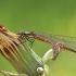 Kruvinoji strėliukė - Pyrrhosoma nymphula | Fotografijos autorius : Agnė Našlėnienė | © Macrogamta.lt | Šis tinklapis priklauso bendruomenei kuri domisi makro fotografija ir fotografuoja gyvąjį makro pasaulį.