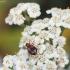 Kryžiuotasis lapažygis - Lebia cruxminor | Fotografijos autorius : Vidas Brazauskas | © Macrogamta.lt | Šis tinklapis priklauso bendruomenei kuri domisi makro fotografija ir fotografuoja gyvąjį makro pasaulį.