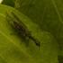Blyškiaakis kupriukas - Raphidia xanthostigma  | Fotografijos autorius : Giedrius Markevičius | © Macrogamta.lt | Šis tinklapis priklauso bendruomenei kuri domisi makro fotografija ir fotografuoja gyvąjį makro pasaulį.