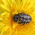 Kvapusis auksavabalis - Oxythyrea funesta | Fotografijos autorius : Agnė Našlėnienė | © Macrogamta.lt | Šis tinklapis priklauso bendruomenei kuri domisi makro fotografija ir fotografuoja gyvąjį makro pasaulį.