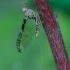 Lašalas - Cloeon dipterum | Fotografijos autorius : Romas Ferenca | © Macrogamta.lt | Šis tinklapis priklauso bendruomenei kuri domisi makro fotografija ir fotografuoja gyvąjį makro pasaulį.