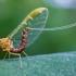 Lašalas - Ephemeroptera | Fotografijos autorius : Oskaras Venckus | © Macrogamta.lt | Šis tinklapis priklauso bendruomenei kuri domisi makro fotografija ir fotografuoja gyvąjį makro pasaulį.