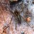 Labirintinis piltuvininkas - Agelena labyrinthica | Fotografijos autorius : Romas Ferenca | © Macrogamta.lt | Šis tinklapis priklauso bendruomenei kuri domisi makro fotografija ir fotografuoja gyvąjį makro pasaulį.