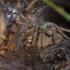 Labirintinis piltuvininkas - Agelena labyrinthica | Fotografijos autorius : Dalia Račkauskaitė | © Macrogamta.lt | Šis tinklapis priklauso bendruomenei kuri domisi makro fotografija ir fotografuoja gyvąjį makro pasaulį.