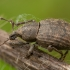 Laiškeninis straubliukas - Tropiphorus elevatus | Fotografijos autorius : Žilvinas Pūtys | © Macrogamta.lt | Šis tinklapis priklauso bendruomenei kuri domisi makro fotografija ir fotografuoja gyvąjį makro pasaulį.