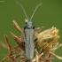 Laibavabalis - Oedemera sp. | Fotografijos autorius : Vidas Brazauskas | © Macrogamta.lt | Šis tinklapis priklauso bendruomenei kuri domisi makro fotografija ir fotografuoja gyvąjį makro pasaulį.