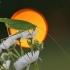 Lakštasparnis pjūklius - Phaneroptera falcata   Fotografijos autorius : Agnė Našlėnienė   © Macrogamta.lt   Šis tinklapis priklauso bendruomenei kuri domisi makro fotografija ir fotografuoja gyvąjį makro pasaulį.