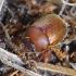 Lapgraužiškasis smėlinukas - Ochodaeus chrysomeloides   Fotografijos autorius : Romas Ferenca   © Macrogamta.lt   Šis tinklapis priklauso bendruomenei kuri domisi makro fotografija ir fotografuoja gyvąjį makro pasaulį.