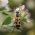 Dėmėtasis grakštenis - Rutpela maculata   Fotografijos autorius : Gintautas Steiblys   © Macrogamta.lt   Šis tinklapis priklauso bendruomenei kuri domisi makro fotografija ir fotografuoja gyvąjį makro pasaulį.