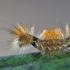 Liepinis baltasis verpikas - Arctornis l-nigrum   Fotografijos autorius : Arūnas Eismantas   © Macrogamta.lt   Šis tinklapis priklauso bendruomenei kuri domisi makro fotografija ir fotografuoja gyvąjį makro pasaulį.