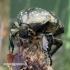 Protaetia lugubris [=Liocola marmorata] - Marmurinis auksavabalis   Fotografijos autorius : Romas Ferenca   © Macrogamta.lt   Šis tinklapis priklauso bendruomenei kuri domisi makro fotografija ir fotografuoja gyvąjį makro pasaulį.