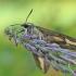 Lipikinis sfinkas - Hyles galii | Fotografijos autorius : Agnė Našlėnienė | © Macrogamta.lt | Šis tinklapis priklauso bendruomenei kuri domisi makro fotografija ir fotografuoja gyvąjį makro pasaulį.