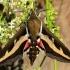 Lipikinis sfinksas - Hyles gallii | Fotografijos autorius : Ramunė Vakarė | © Macrogamta.lt | Šis tinklapis priklauso bendruomenei kuri domisi makro fotografija ir fotografuoja gyvąjį makro pasaulį.