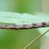 Lipikinis sprindytis - Eupithecia subfuscata, vikšras | Fotografijos autorius : Romas Ferenca | © Macrogamta.lt | Šis tinklapis priklauso bendruomenei kuri domisi makro fotografija ir fotografuoja gyvąjį makro pasaulį.
