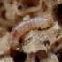 Luobvabalis - Rhopalodontus perforatus, lerva | Fotografijos autorius : Romas Ferenca | © Macrogamta.lt | Šis tinklapis priklauso bendruomenei kuri domisi makro fotografija ir fotografuoja gyvąjį makro pasaulį.