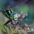 Mėlynžiedis laumžirgis - Aeshna cyanea | Fotografijos autorius : Ramunė Činčikienė | © Macrogamta.lt | Šis tinklapis priklauso bendruomenei kuri domisi makro fotografija ir fotografuoja gyvąjį makro pasaulį.
