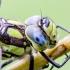 Mėlynžiedis laumžirgis - Aeshna cyanea   Fotografijos autorius : Kazimieras Martinaitis   © Macrogamta.lt   Šis tinklapis priklauso bendruomenei kuri domisi makro fotografija ir fotografuoja gyvąjį makro pasaulį.