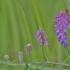 Mėlynžiedis vikis - Vicia cracca | Fotografijos autorius : Kęstutis Obelevičius | © Macrogamta.lt | Šis tinklapis priklauso bendruomenei kuri domisi makro fotografija ir fotografuoja gyvąjį makro pasaulį.