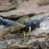 Mėlynasis ragauodegis - Sirex noctilio | Fotografijos autorius : Kazimieras Martinaitis | © Macrogamta.lt | Šis tinklapis priklauso bendruomenei kuri domisi makro fotografija ir fotografuoja gyvąjį makro pasaulį.