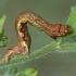 Mėlyninis žievėsprindis - Ectropis crepuscularia, vikšras | Fotografijos autorius : Gintautas Steiblys | © Macrogamta.lt | Šis tinklapis priklauso bendruomenei kuri domisi makro fotografija ir fotografuoja gyvąjį makro pasaulį.