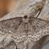 Mėlyninis žievėsprindis - Ectropis crepuscularia | Fotografijos autorius : Žilvinas Pūtys | © Macrogamta.lt | Šis tinklapis priklauso bendruomenei kuri domisi makro fotografija ir fotografuoja gyvąjį makro pasaulį.