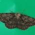 Mėlyninis žievėsprindis - Ectropis crepuscularia | Fotografijos autorius : Vytautas Gluoksnis | © Macrogamta.lt | Šis tinklapis priklauso bendruomenei kuri domisi makro fotografija ir fotografuoja gyvąjį makro pasaulį.