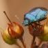 Mėlynoji skydblakė - Zicrona caerulea   Fotografijos autorius : Žilvinas Pūtys   © Macrogamta.lt   Šis tinklapis priklauso bendruomenei kuri domisi makro fotografija ir fotografuoja gyvąjį makro pasaulį.