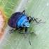 Mėlynoji skydblakė - Zicrona caerulea | Fotografijos autorius : Romas Ferenca | © Macrogamta.lt | Šis tinklapis priklauso bendruomenei kuri domisi makro fotografija ir fotografuoja gyvąjį makro pasaulį.