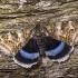 Mėlynsparnė peteliškė - Catocala fraxini | Fotografijos autorius : Eugenijus Kavaliauskas | © Macrogamta.lt | Šis tinklapis priklauso bendruomenei kuri domisi makro fotografija ir fotografuoja gyvąjį makro pasaulį.