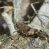 Mėlynsparnis tarkšlys - Oedipoda caerulescens | Fotografijos autorius : Vidas Brazauskas | © Macrogamta.lt | Šis tinklapis priklauso bendruomenei kuri domisi makro fotografija ir fotografuoja gyvąjį makro pasaulį.
