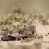 Mėlynsparnis tarkšlys - Oedipoda caerulescens | Fotografijos autorius : Agnė Našlėnienė | © Macrogamta.lt | Šis tinklapis priklauso bendruomenei kuri domisi makro fotografija ir fotografuoja gyvąjį makro pasaulį.