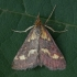 Mėtinė pyrausta - Pyrausta purpuralis | Fotografijos autorius : Žilvinas Pūtys | © Macrogamta.lt | Šis tinklapis priklauso bendruomenei kuri domisi makro fotografija ir fotografuoja gyvąjį makro pasaulį.