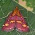 Mėtinė pyrausta - Pyrausta purpuralis | Fotografijos autorius : Gintautas Steiblys | © Macrogamta.lt | Šis tinklapis priklauso bendruomenei kuri domisi makro fotografija ir fotografuoja gyvąjį makro pasaulį.