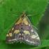 Mėtinė pyrausta - Pyrausta purpuralis | Fotografijos autorius : Vidas Brazauskas | © Macrogamta.lt | Šis tinklapis priklauso bendruomenei kuri domisi makro fotografija ir fotografuoja gyvąjį makro pasaulį.
