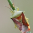 Krūminė skydblakė - Elasmostethus interstinctus  | Fotografijos autorius : Arūnas Eismantas | © Macrogamta.lt | Šis tinklapis priklauso bendruomenei kuri domisi makro fotografija ir fotografuoja gyvąjį makro pasaulį.