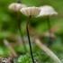 Mažūnis - Marasmius wettsteinii | Fotografijos autorius : Žilvinas Pūtys | © Macrogamta.lt | Šis tinklapis priklauso bendruomenei kuri domisi makro fotografija ir fotografuoja gyvąjį makro pasaulį.