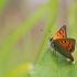 Mažasis auksinukas - Lycaena phlaeas | Fotografijos autorius : Ramunė Činčikienė | © Macrogamta.lt | Šis tinklapis priklauso bendruomenei kuri domisi makro fotografija ir fotografuoja gyvąjį makro pasaulį.