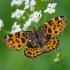 Mažasis dilgėlinukas - Arashchnia levana, pavasarinė forma | Fotografijos autorius : Deividas Makavičius | © Macrogamta.lt | Šis tinklapis priklauso bendruomenei kuri domisi makro fotografija ir fotografuoja gyvąjį makro pasaulį.