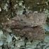 Mažasis strėlinukas - Acronicta strigosa | Fotografijos autorius : Žilvinas Pūtys | © Macrogamta.lt | Šis tinklapis priklauso bendruomenei kuri domisi makro fotografija ir fotografuoja gyvąjį makro pasaulį.